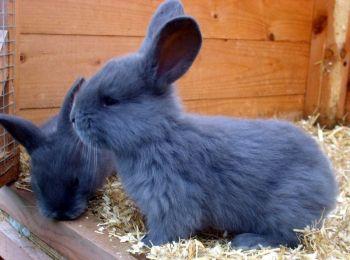 Zakrslý králik japonský modrý