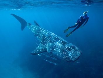 Žralok veľrybí najväčšia ryba na svete