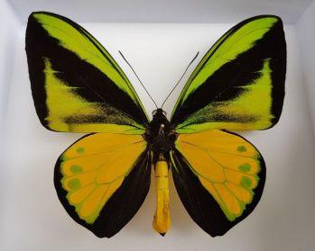 Ornithoptera goliath ( 27- 28 cm ) Najväčší motýľ