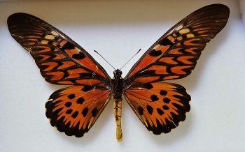 Papilio antimachus ( 23 cm) Najväčší motýľ