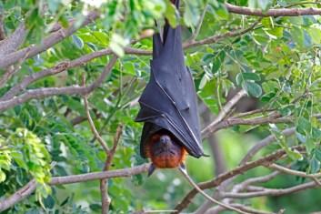 Lyleova-lietajuca-liska najväčší netopier na svete