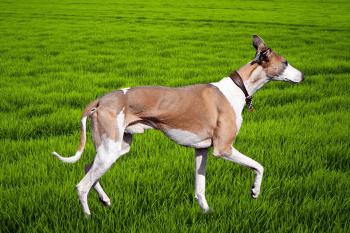 anglický chrt Krátkosrsté plemená psov
