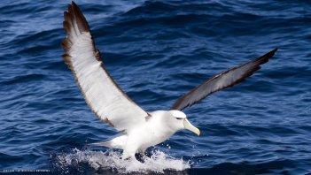 Albatros kráľovský Najväčší vták na svete