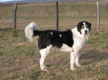 Pastiersky pes Bucovina Plemená psov z Ukrajiny  psy