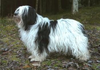 Poľský nížinný ovčiak Poľské psy