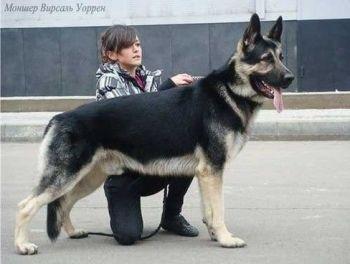 Východoeurópsky ovčiak Plemená psov z Ukrajiny  psy