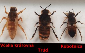 druhy včiel