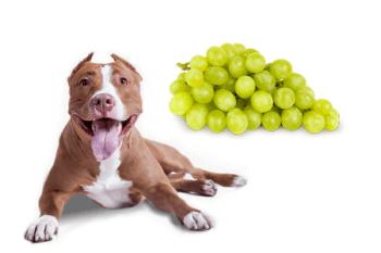 môže pes hrozno Ovocie a zelenina ktorú Psy môžu alebo nemôžu jesť