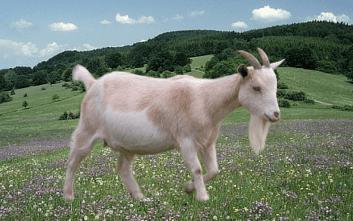 najlepšia koza na mlieko