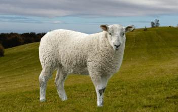 ovca na luke
