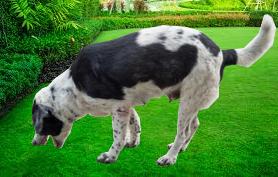 prečo pes zvracia