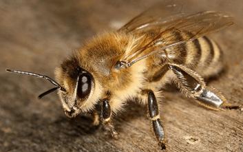 včela medonosna