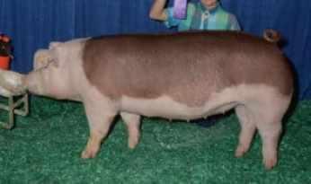Hereford prasa Plemená mäsových ošípaných