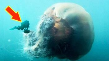 Medúza veľká Najväčšie morské tvory