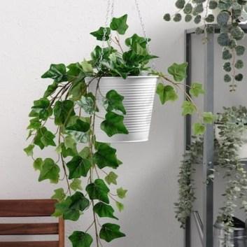 Anglický brečtan Rastliny do spálne