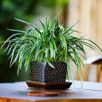 Zelenec chochlatý Rastliny do kuchyne