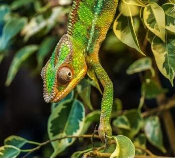 Chameleon Najkrajšie zviera na svete