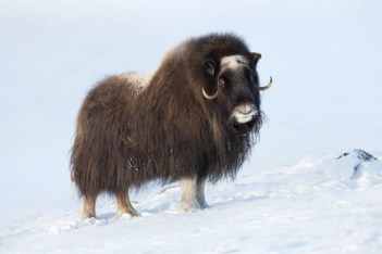 Polárne zvieratá Pizmon seversky