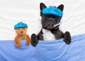 Dog fever and what you need to know