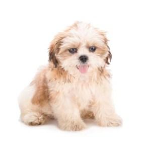 Shih Tzus as best hypoallergenic dogs