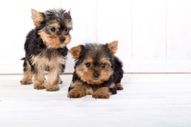 Yorkshire Terrier puppies are cutest dogs