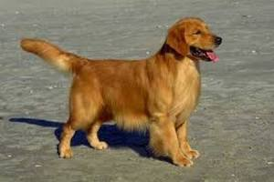 3000th Golden Retriever Enrolled in First-of-its-Kind Study