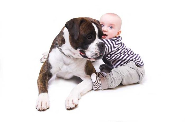 A boxer dog is protecting a small child