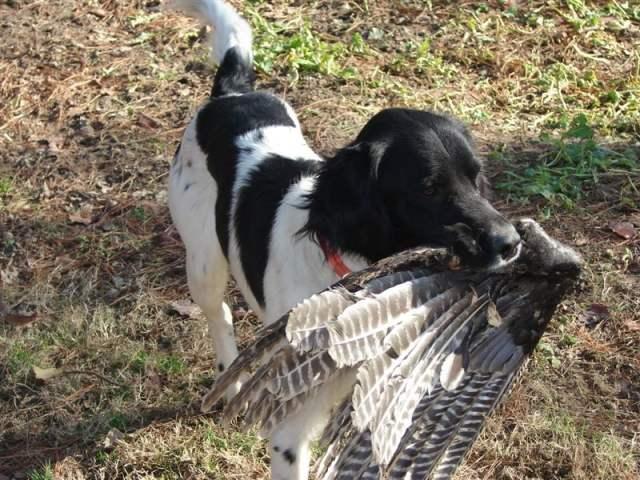 Appalachian Turkey Dog - Best Hunting Dogs