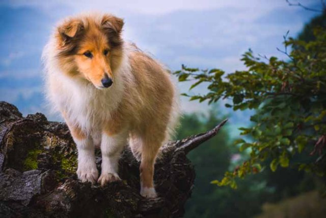 Best Small Dogs for Kids Collie
