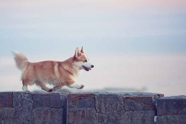 Best Small Dogs for Kids Pembroke Welsh Corgis