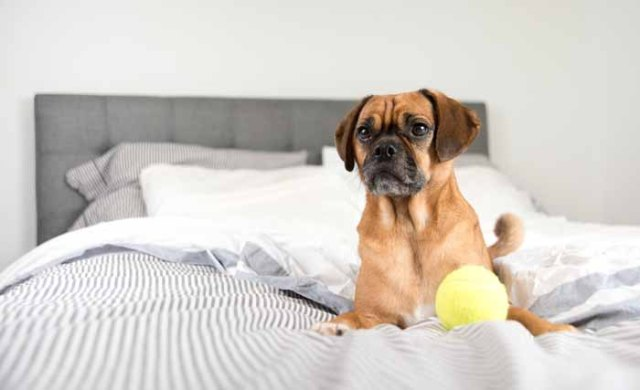 Best Small Dogs for Kids Puggle