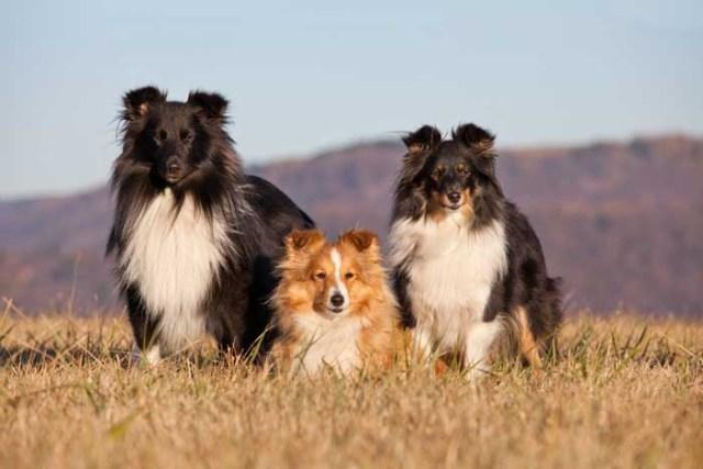 Best Small Dogs for Kids Shetland Sheepdog