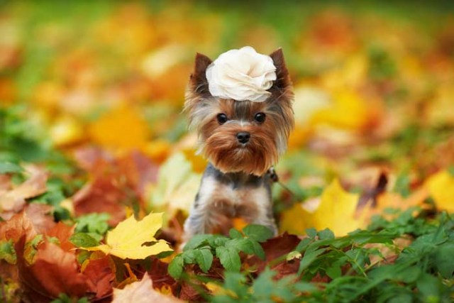 Best Small Dogs for Kids Yorkshire Terrier