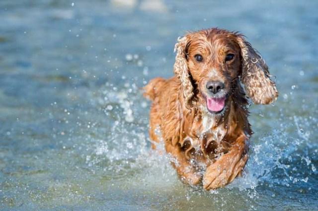 Cocker Spaniel - Best Hunting Dog
