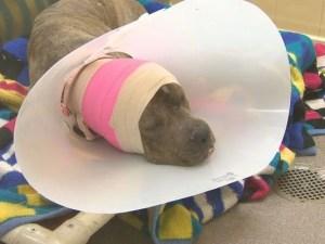 Dog Fighting Ring Suspected in Denver