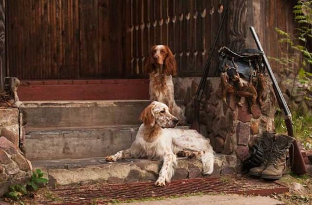 English Setter - Best Hunting Dog