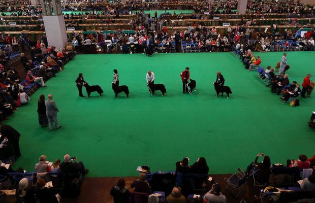 Irish Setter Poisoned at Crufts Dog Show