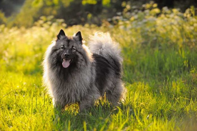 Keeshond dog looking happy