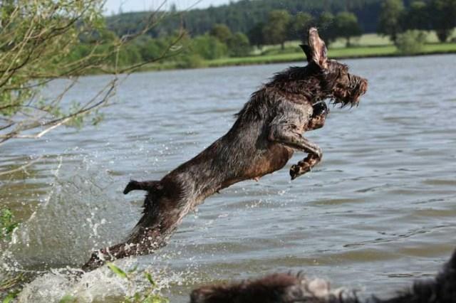 Spinone Italiano - Best Hunting Dog
