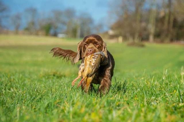 Sussex Spaniel - Best Hunting Dog