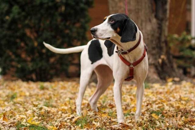 Treeing Walker Hound - Best Hunting Dog