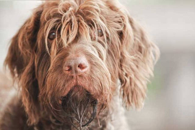 Wirehaired Pointing Griffon - Best Hunting Dog