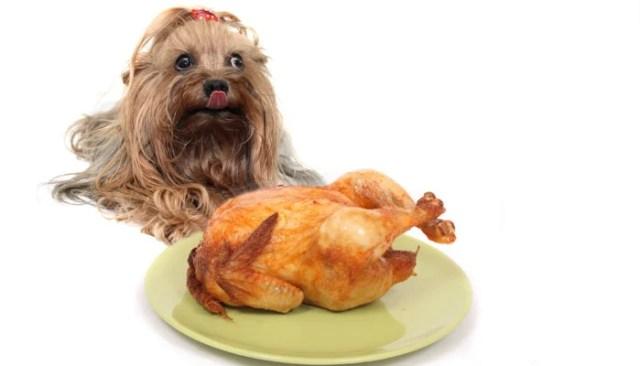 Dog eating thanksgiving turkey dinner