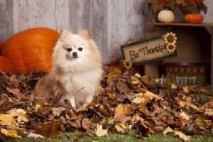 dog celebrating thanksgiving