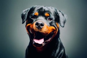 happy smiling rottweiler