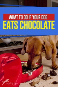 Dog Poisoning - What to Do If Your Dog Eats Chocolate