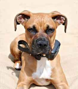 How to use electronic Dog Training Collars