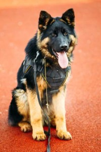 Service Dog Gear for Puppies