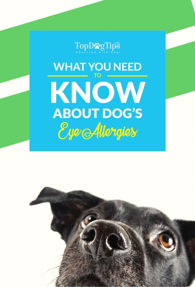 The Guide on Dog Eye Allergies