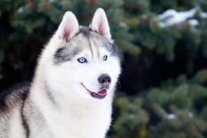 Husky Wolf Dog